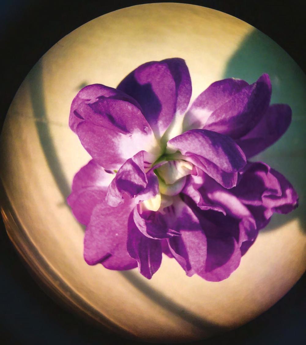 Il posto delle Viole: riapre la serra storica del Giardino Ducale con la fioritura delle violette