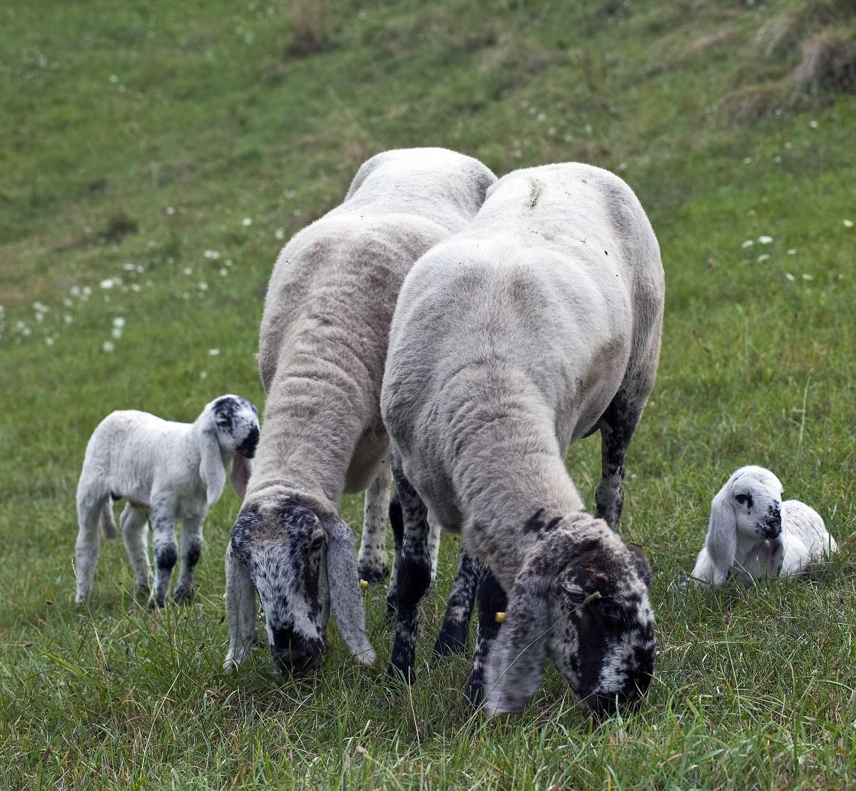 LA PECORA E IL LUPO   Uscita al pascolo con le pecore e il pastore
