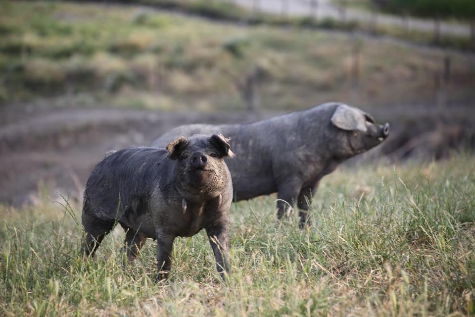 """L'azienda agricola biologica """"San Paolo"""", specialità carne di suino nero e  bovino patecipa a """"Fattorie aperte"""""""