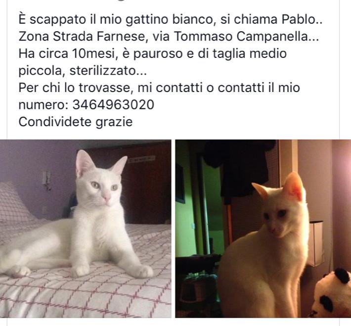 Chi ha visto Pablo? Gattino perso a Parma