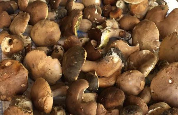 Fungo e castagneto  Semplice escursione nei boschi di castagno