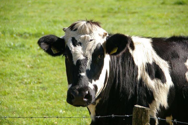 """""""Benessere delle mucche e non solo: tra economia ed etica""""."""