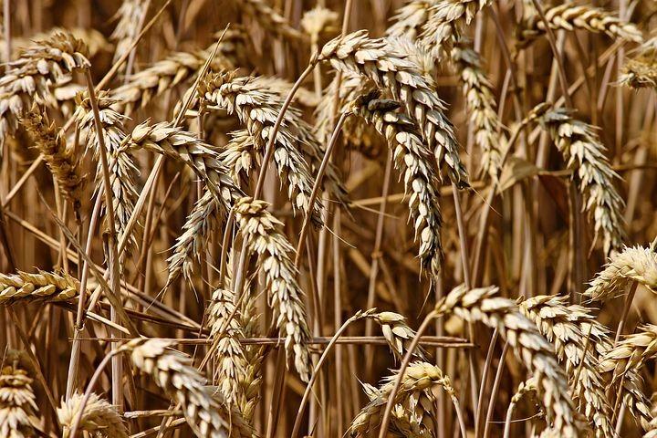 Pane e farina, non solo dal grano,  al Vivaio Scodogna caccia al tesoro e attività per famiglie