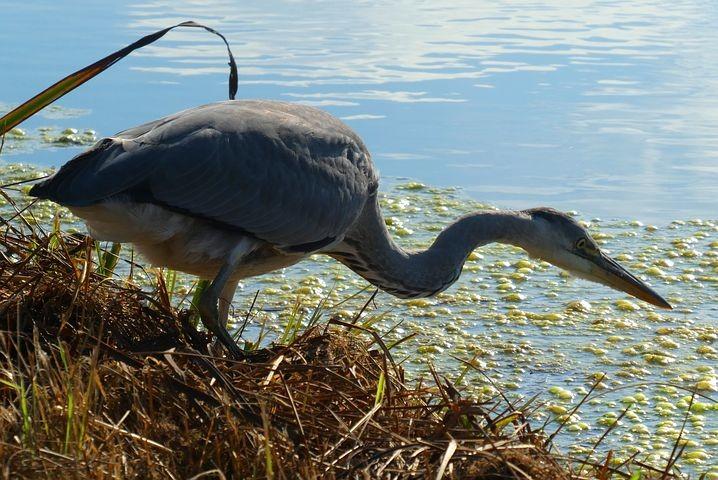 Alla scoperta degli uccelli acquatici invernali