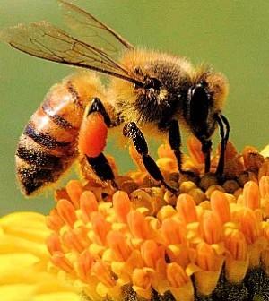 Le api solitarie dove vivono?