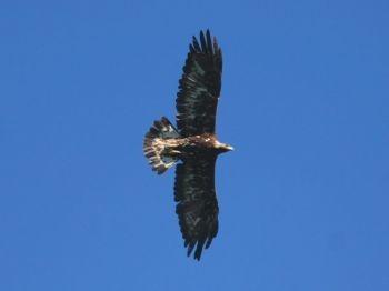 Il Parco nelle ali: l'Aquila Reale e i suoi dintorni birdwatching nel Parco dei Cento Laghi