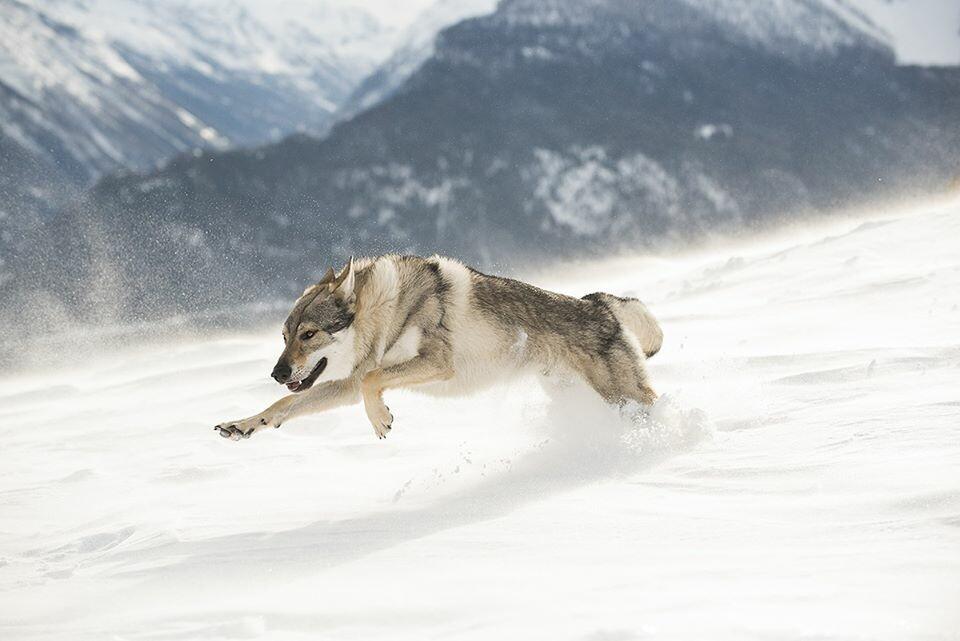 SULLE ORME DEI LUPI:  con Guido Sardella e Daniele Ecotti seguiremo le piste del lupo alla scoperta deisegreti del branco della Riserva