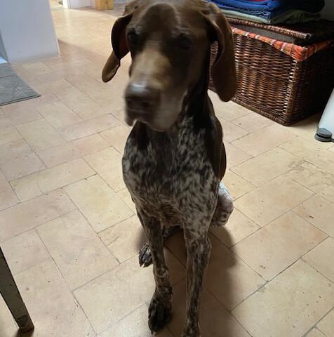 Chi ha visto MAYA, un cane femmina Bracco tedesco , perso nella zona di Montechiarugolo?