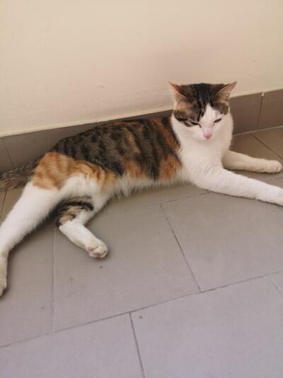 Smarrita gattina di nome Penelope, tricolore bianca, rossa, marrone. Via Micheli (zona S. Leonardo).