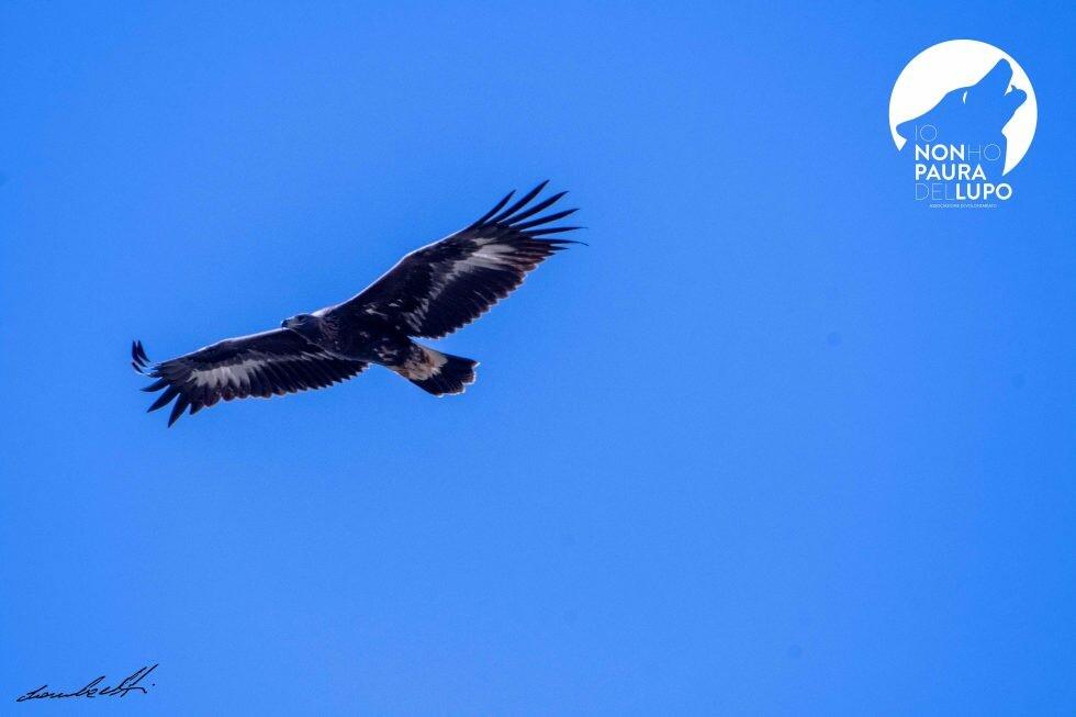 Una giovane aquila reale vola sull'alta Val Taro.