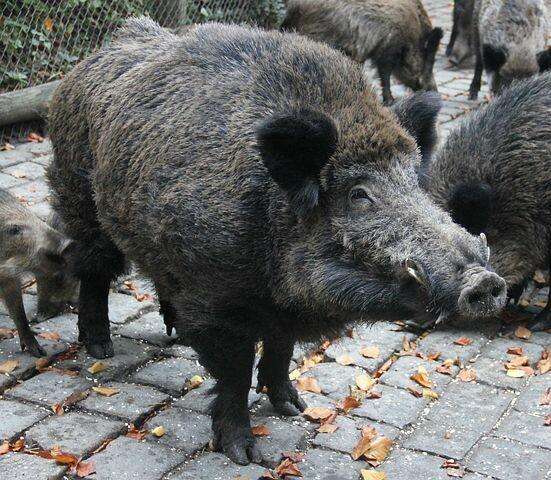 PESTE SUINA: COLDIRETTI, STOP IMPORT ANIMALI DA PAESI FOCOLAIO  Allevamenti a rischio con il dilagare di cinghiali che portano il virus