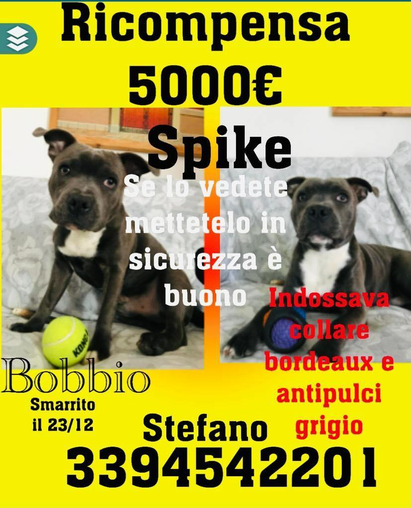 Chi ha visto SPIKE, Staffordshire Bull Terrier ? Si offre  grossa ricompensa