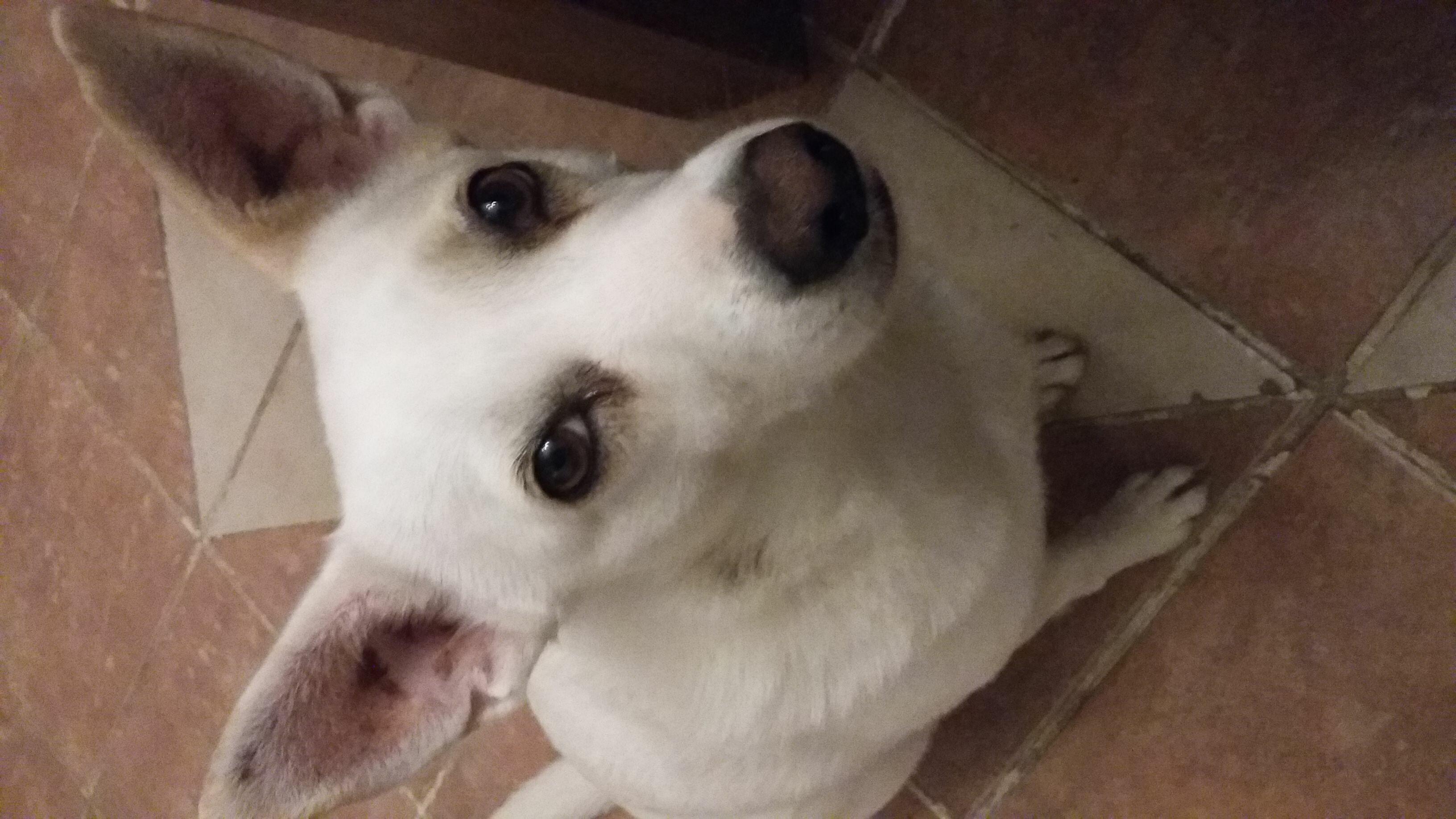 Chi ha visto Penelope, cagnolina bianca persa a Vigatto